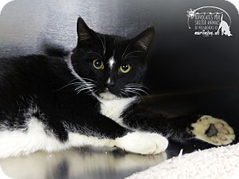 Domestic Shorthair Cat for adoption in Marlinton, West Virginia - Raymond--RESCUED!