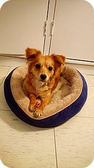 Papillon Mix Puppy for adoption in San Diego, California - Sky