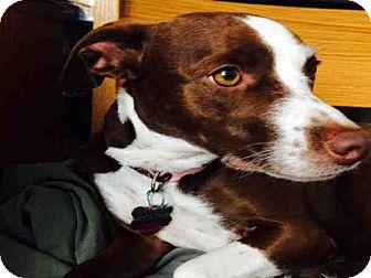 Rat Terrier Mix Dog for adoption in Lawrence, Kansas - MARTHA