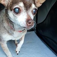 Adopt A Pet :: Dabbie - Morganville, NJ