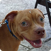 Adopt A Pet :: Dinky!  19 lbs! - St Petersburg, FL