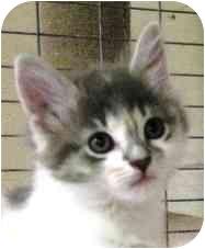 Calico Kitten for adoption in McDonough, Georgia - Meadow