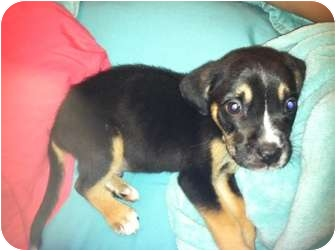 Labrador Retriever/German Shepherd Dog Mix Puppy for adoption in Bel Air, Maryland - Toby