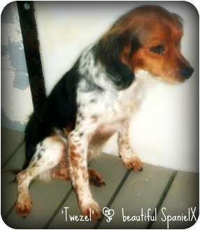 Cavalier King Charles Spaniel Mix Dog for adoption in Richmond, Virginia - Betty Lou