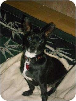 Chihuahua Mix Dog for adoption in Bellingham, Washington - Bert