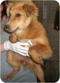 Golden Retriever/Border Collie Mix Puppy for adoption in staten Island, New York - Lily