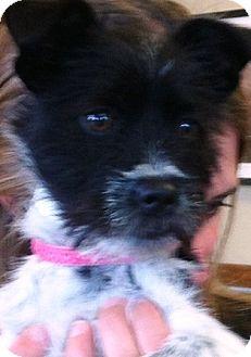 Schnauzer (Miniature)/Terrier (Unknown Type, Small) Mix Puppy for adoption in Oswego, Illinois - Kinzee