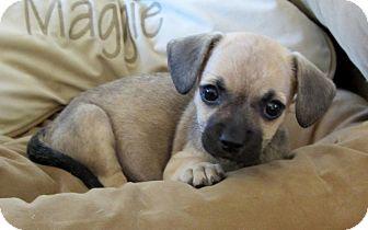 Pug/Beagle Mix Puppy for adoption in Santa Ana, California - Jillie