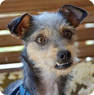 Wirehaired Fox Terrier Mix Dog for adoption in Harrisonburg, Virginia - Maya