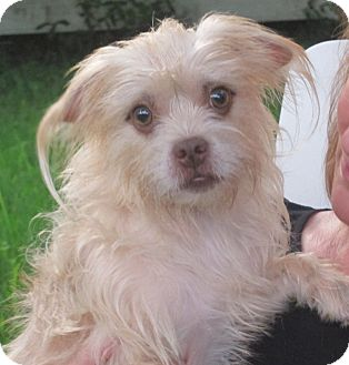 Yorkie, Yorkshire Terrier/Terrier (Unknown Type, Small) Mix Dog for adoption in Palm Harbor, Florida - Rusty