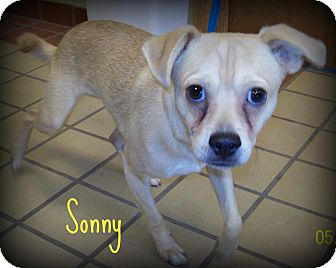 Pug/Beagle Mix Dog for adoption in White Cloud, Michigan - Sonny