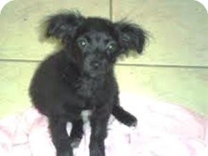 Pomeranian Mix Puppy for adoption in Bartonsville, Pennsylvania - ELLIE