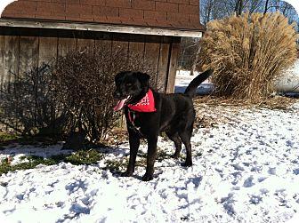 Labrador Retriever Mix Dog for adoption in Florence, Indiana - Midnight