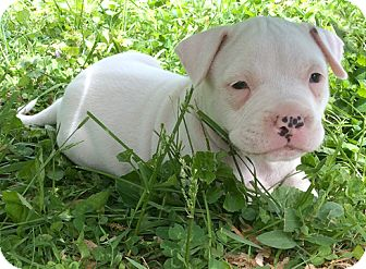 Pit Bull Terrier Mix Puppy for adoption in Cincinnati, Ohio - Edelweiss