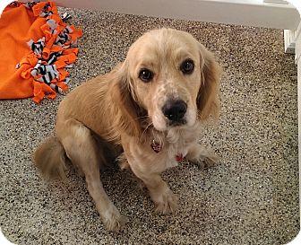 Cocker Spaniel/Golden Retriever Mix Dog for adoption in Thousand Oaks, California - June