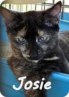 Domestic Shorthair Kitten for adoption in Palm Coast, Florida - JOSIE