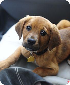 Golden Retriever/Hound (Unknown Type) Mix Puppy for adoption in Nashville, Tennessee - Ella