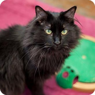 Domestic Longhair Cat for adoption in Denver, Colorado - Frankenstein
