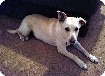 Labrador Retriever Mix Dog for adoption in Overland Park, Kansas - Molly