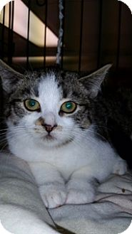 American Shorthair Kitten for adoption in Forest Hills, New York - Missy