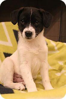 Border Collie Mix Puppy for adoption in Allentown, Pennsylvania - Kesha