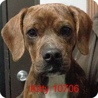 Beagle/Boxer Mix Puppy for adoption in Manassas, Virginia - Kitty