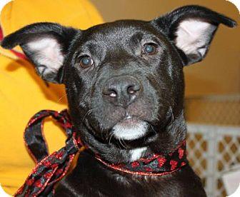 Labrador Retriever/Affenpinscher Mix Puppy for adoption in Livonia, Michigan - A Litter-Misha-ADOPTED