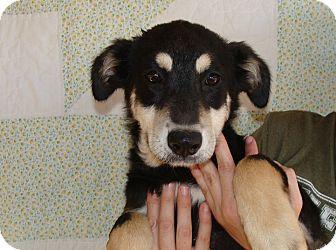 German Shepherd Dog/Labrador Retriever Mix Dog for adoption in Oviedo, Florida - Lola