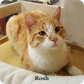 Domestic Shorthair Cat for adoption in Bentonville, Arkansas - Rosh