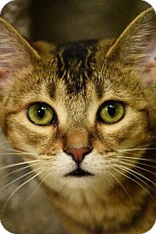 Domestic Shorthair Cat for adoption in Hillside, Illinois - Tinkerbell-7 MONTHS - SPECIAL
