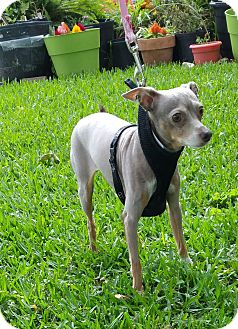 Mexican Hairless/Chihuahua Mix Dog for adoption in Houston, Texas - MARILYN