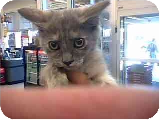 Domestic Shorthair Kitten for adoption in Tracy, California - Jazzy-ADOPTED