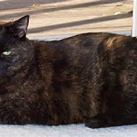 Domestic Shorthair Cat for adoption in Richmond, Michigan - Patches