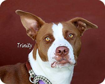 Pointer Mix Dog for adoption in Idaho Falls, Idaho - Trinity
