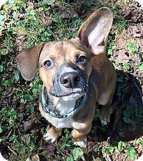 Dachshund/Chihuahua Mix Puppy for adoption in Barium Springs, North Carolina - TACO