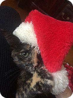 Domestic Shorthair Kitten for adoption in Chapel Hill, North Carolina - Jane