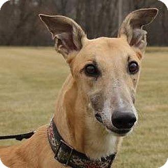 Greyhound Dog for adoption in Carol Stream, Illinois - Boc's Kick Boxer