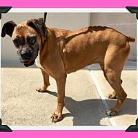 Boxer Dog for adoption in Hurst, Texas - Agnes