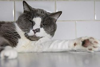 Domestic Shorthair Cat for adoption in New York, New York - Mauro