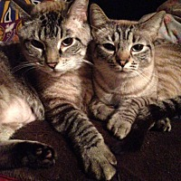 Adopt A Pet :: Gideon - Santa Monica, CA