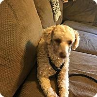 Adopt A Pet :: Choco - Rexford, NY