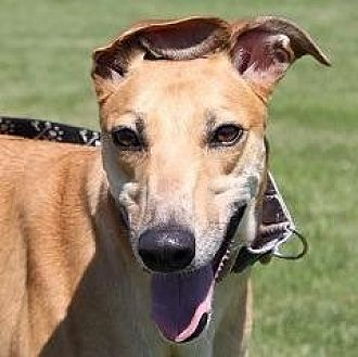 Greyhound Dog for adoption in Carol Stream, Illinois - Red Sun Rising (Sonny)
