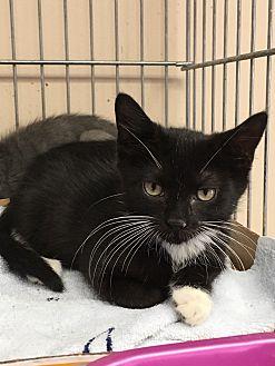 Domestic Shorthair Kitten for adoption in East Brunswick, New Jersey - Abilene