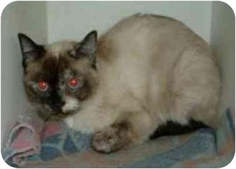 Siamese Cat for adoption in Makinen, Minnesota - Emily