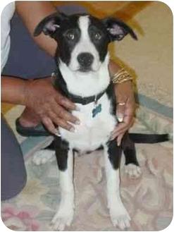 Labrador Retriever/Border Collie Mix Puppy for adoption in Berkeley, California - Jack