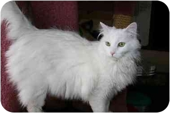 Turkish Angora Cat for adoption in Arlington, Virginia - Cotton