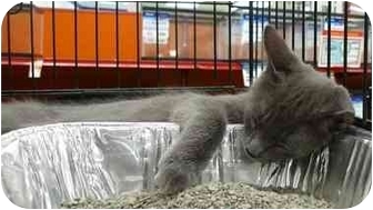 Domestic Shorthair Kitten for adoption in Troy, Michigan - Thomas