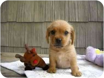 Hound (Unknown Type)/Wirehaired Fox Terrier Mix Puppy for adoption in Portland, Maine - Buddha