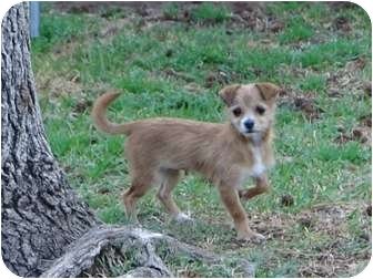 Chihuahua/Terrier (Unknown Type, Small) Mix Puppy for adoption in Arlington, Texas - Mindy