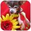 Photo 2 - Chihuahua Dog for adoption in Irvine, California - Greta